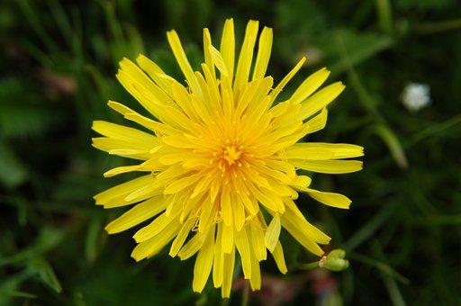 Dandelion Flower, Ruoergai, Grassland, Plant, Yellow