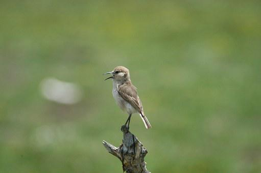 Sparrow, Wild Bird, Ruoergai, Grassland