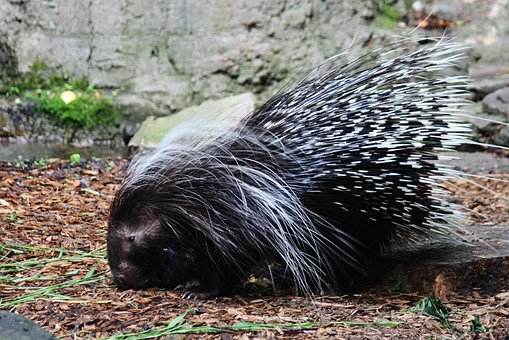 Porcupine, Hedgehog, Spines, Animal, Wildlife, Wild
