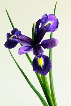 Iris, Flower, Nature, Floral, Spring, Petal, Botany