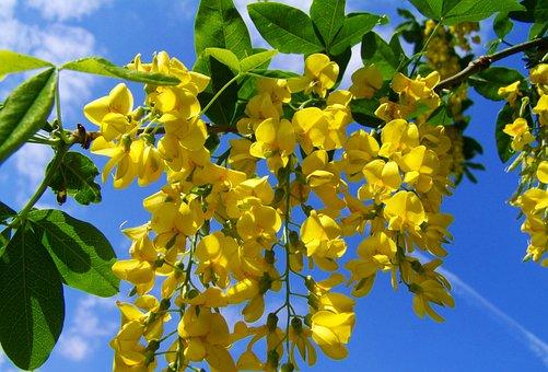Yellow-flowered Acacia Gold, Laburnum, Blue Sky