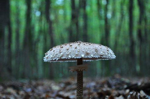 Mushroom, Forest, Autumn, őzláb Mushrooms