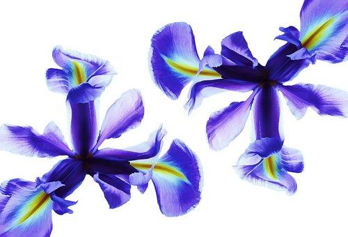 Flower, Iris, Blue, Nature, Floral, Spring, Plant