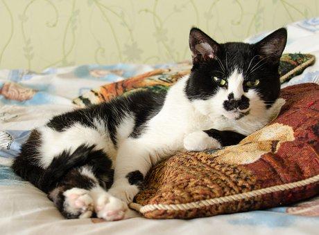 Cat, Lies, Pet, Cute, Black And White Cat, View