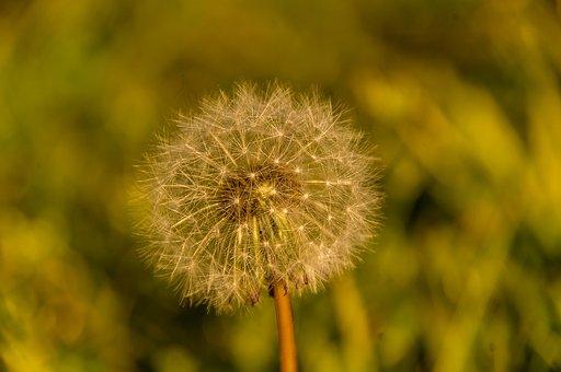Seed Head, Seeds, Weed, Dandelion, Feathery, Delicate