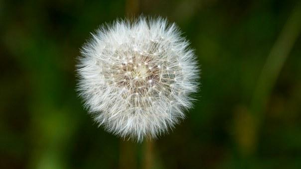 Dandelion, Puffball, Flower, Plant, Puff, Fluffy, Seed