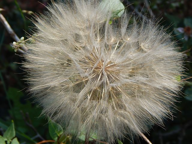 Dandelion, Seeds, Weed, Flower, Nature, Fluffy, Head