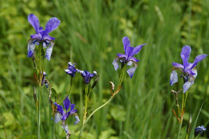 Siberian Schwertlilie, Iris, Blue, Close, Rarely