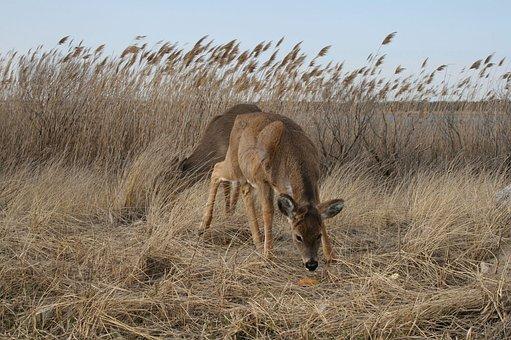 Deer, Smith's Point, Animal, Wildlife, Wild