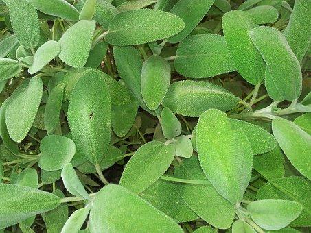 Sage, Garden, Spices, Kitchen, Leaves, Green, Tastes