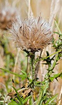 Thistledown, Thistle, Milk Thistle, Seed, Seeds