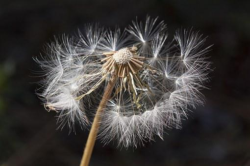 Dandelion, Weed, Nature, Spring, White, Allergic