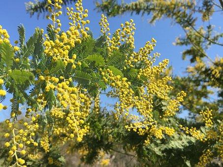 Mimosa Acacia, Acacia, Yellow Flowers, Spring Flowers