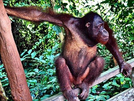 Orangutan, Monkey, Jungle, Trees, Animal, Face, Hair
