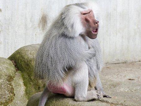 Hamadryas Baboon, Monkey, Baboon, Ape, Papio Hamadryas