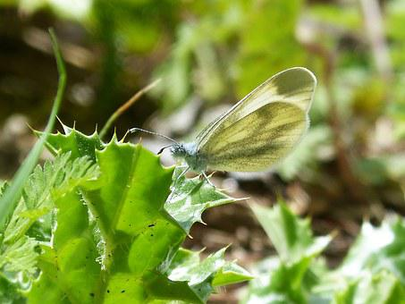 Blanquita Of Cabbage, The Cabbage Butterfly