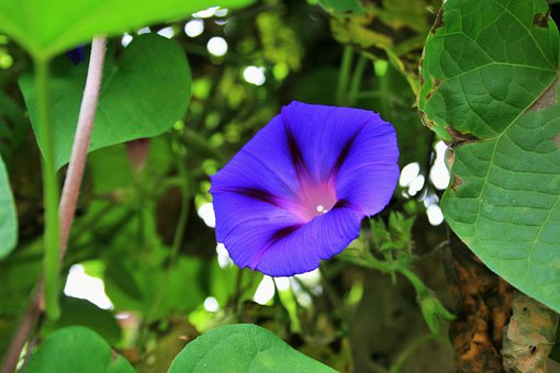 Morning Glory, Flower, Purple, Trumpet, Bright, Creeper