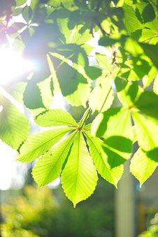 Nature, Chestnut, Leaves, Kiev