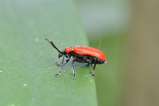 Lily Chicken, Leaf Beetle, Criocerinae, Beetle, Red