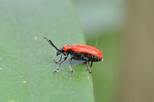 Lily Chicken, Leaf Beetle, Criocerinae, Beetle, Red