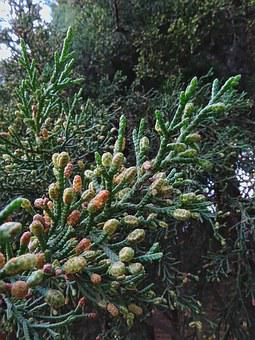 Cypress, Tree, Cupressaceae, Branches, Branch