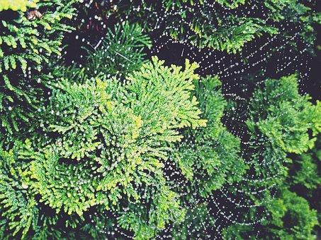 Hinoki, Cypress, Cypress Tree, Tree, Green, Plant