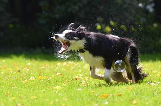 Soap Bubbles, Dog, Dog Hunting Soap Bubbles, Playful