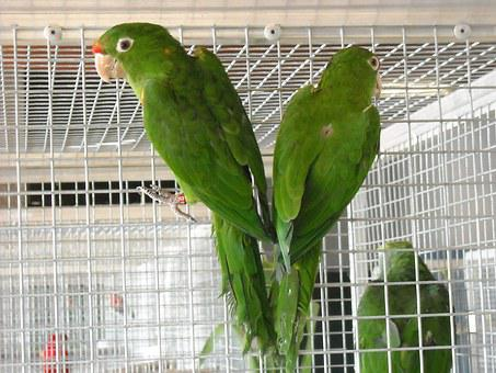 Parakeets, Small Parrots, Birds, Cage, Pets, Green
