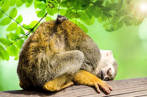 Monkey, Green, Amazon, Squirrel, Rainforest, Tree
