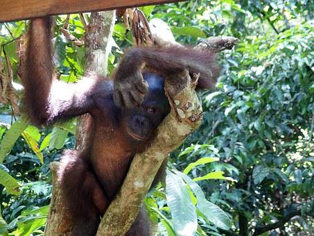 Orangutan, Monkey, Nature, Trees, Jungle, Animal, Hair