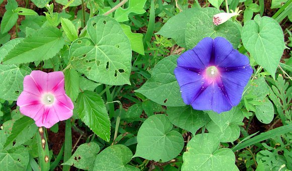 Morning Glory, Flowers, Colorful, Leaves