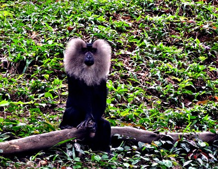 Lion, Tailedm, Macaque, Forest, Wild, Life, Monkey