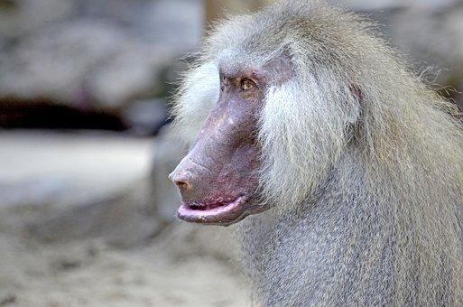 Baboon, Monkey, Old, Monkey Males, Male, Grey Fur