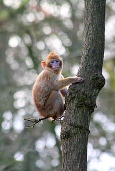 Monkey, Macaque, Animal, Primate, Mammal, Wild