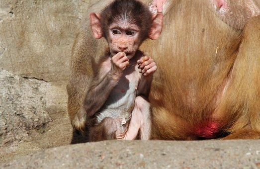 Baboon, Papio Hamadryas, Baboons, Hamadryas, Monkey