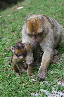 Monkey, Baby, Nature, Forest, Enclosure, äffchen