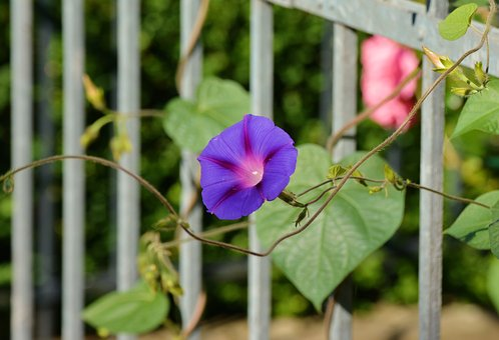 Morning Glory, Climber, Garden, Garden Fence