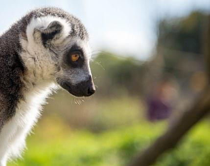 Lemur, Portrait, Nature, Wild, Wildlife, Animal, Mammal