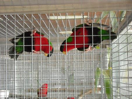 Parakeets, Small Parrots, Birds, Colorful