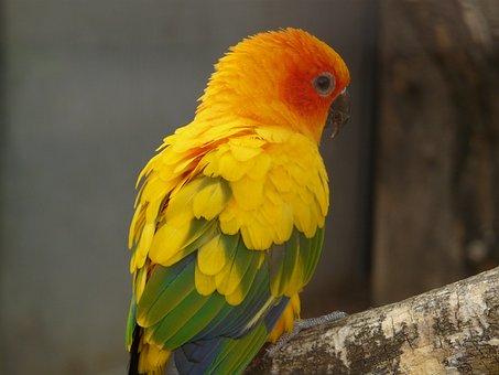 Sun Parakeet, South American, Parrot, Bird, Animal