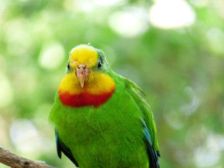 Sign Parakeet, Bird, Parrot, Polytelis Swainsonii