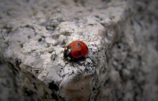 Small, Ladybug, Alder Pirkko, Pistepirkko, Red