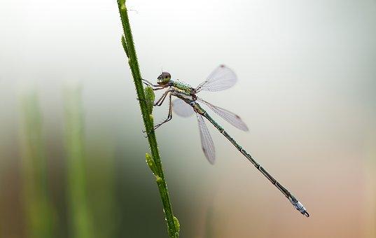 Lestes Virens, Small Emerald Damselfly, Males