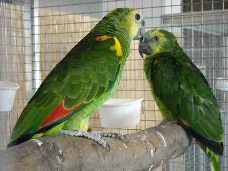 Parakeets, Small Parrots, Pets, Birds, Green, Colorful