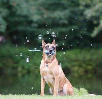 Soap Bubbles, Dog Trick, Dog Shows A Trick, Malinois