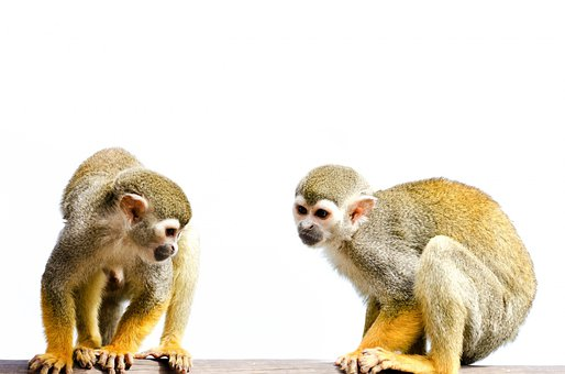 Monkey, Isolated, White, Amazon, Squirrel, Rainforest