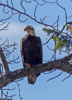 Bald Eagle, Big Bird, Raptor, Bird Of Prey, Symbol