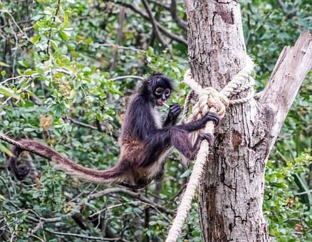 Spider Monkey, Playing, Cute, Primate, Wild, Xcaret