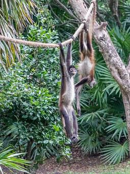 Spider Monkeys, Playing, Cute, Primate, Wild, Xcaret