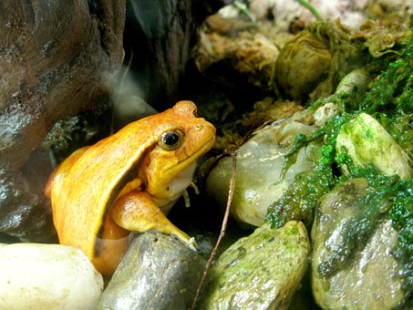 Frog, Tomato Frog, Amphibian, Zoo, Science, Creature